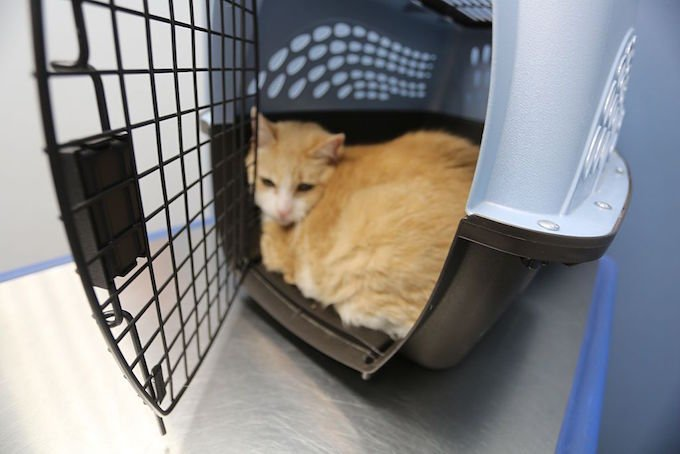 MONROE - SEPTEMBER 21: Vanessa, an orange and white cat, inside of her carrier before getting an examination by a veterinarian at the Pets I Love Veterinary Hospital on September 21, 2016 in Monroe, NY. (Photo by Waring Abbott/Getty Images)