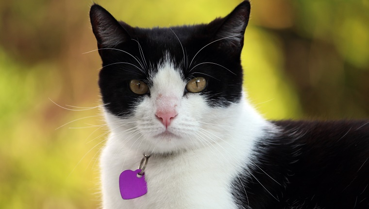 Black and white domestic house cat with an attitude