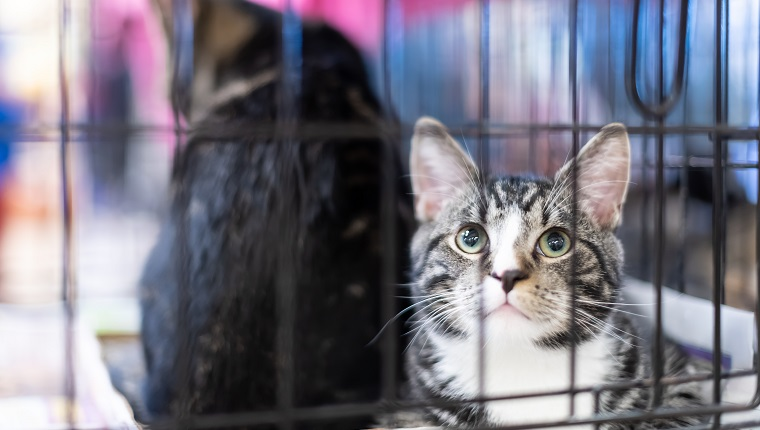 Portrait of one tabby and white kitten cat looking through cage behind bars waiting for adoption with sibling