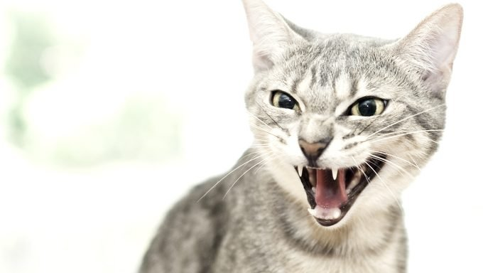 cat looking angry