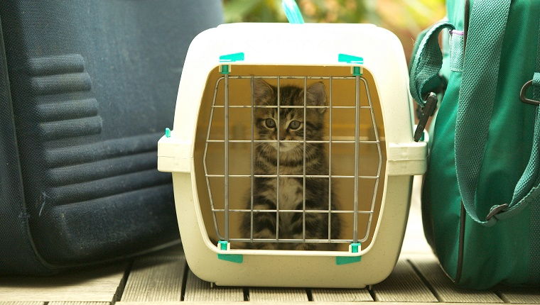 European brown tabby (Felis catus) kitten, in travel container. (Photo by: Auscape/UIG via Getty Images)