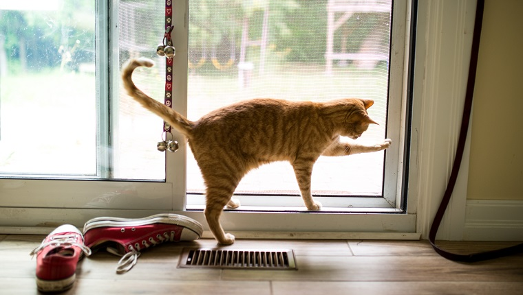 A red tabby tries to open a screen door to get outside.