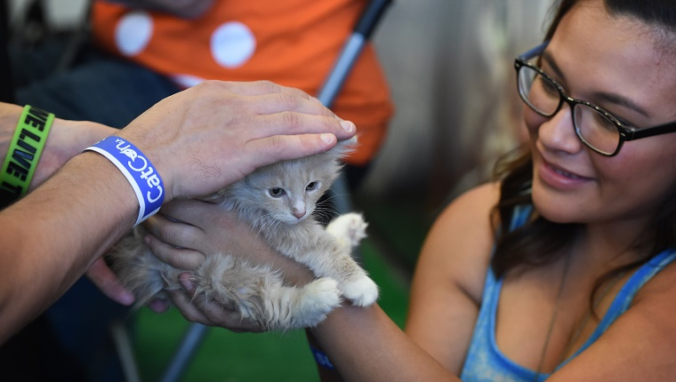 Yusuf the kitten waits for adoption at the 'Best Friends' rescue shelter group at the inaugural CatConLa event in Los Angeles, California on June 7, 2015. The two day cat expo for cat people claims to be the first of its kind in North America and showcases everything to do with felines. AFP PHOTO/MARK RALSTON (Photo credit should read MARK RALSTON/AFP/Getty Images)