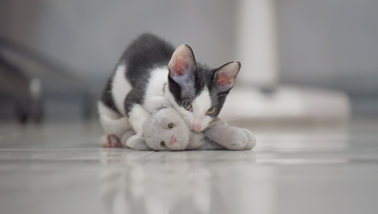 cute grey cat play hunter with kitten doll as victim lay on floor