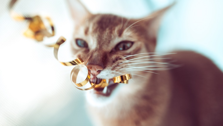 Domestic cat, kitten playing with tinsel.