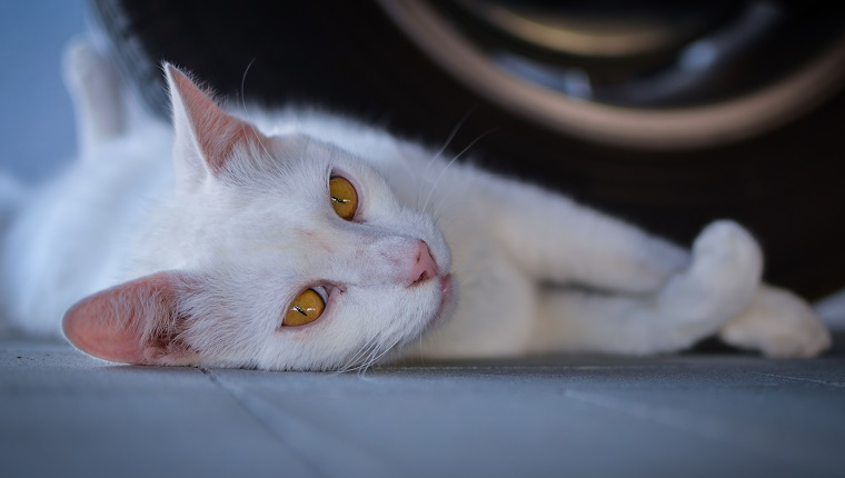 Portrait Of White Cat Lying Against Tire At Garage