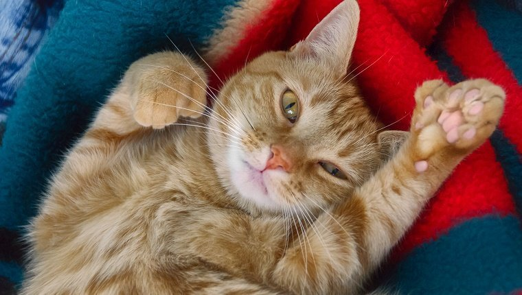 Why Do So Many Cats Have Extra Toes? - CatTime  Why Do So Many ...