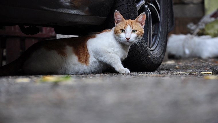 stray cat hiding under the car