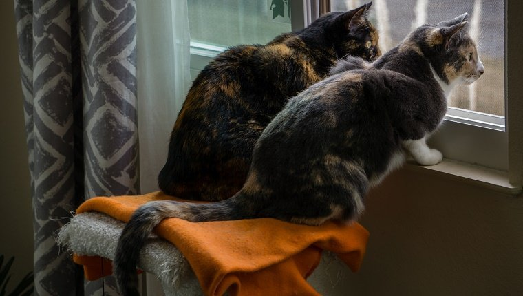 Two calico cats watching out the window
