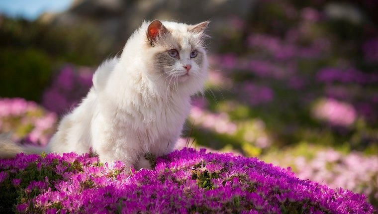 Cat Artfical Breed Names