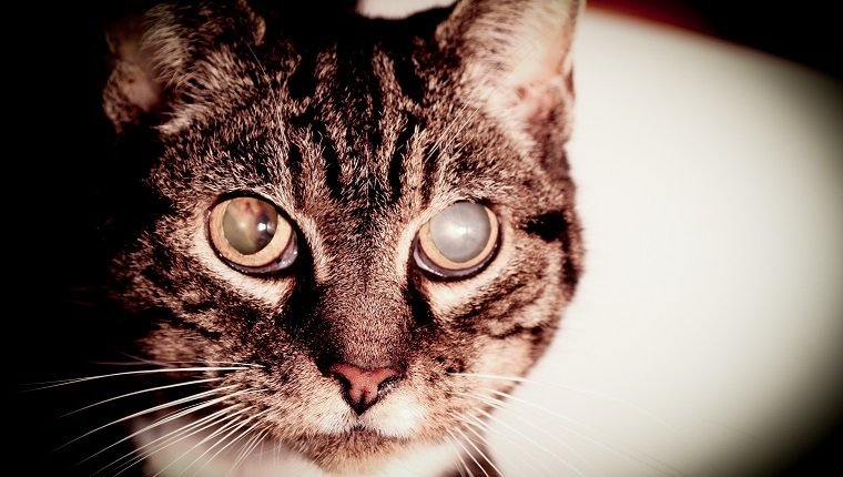 An aging cat with bad eyesite. Going blind with cataracts.