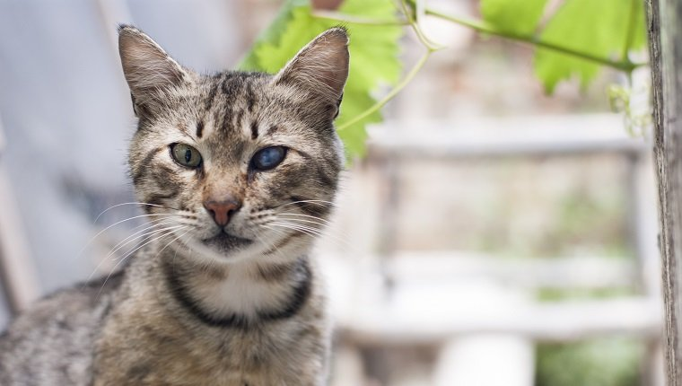 Tabby cat with a sick eye.