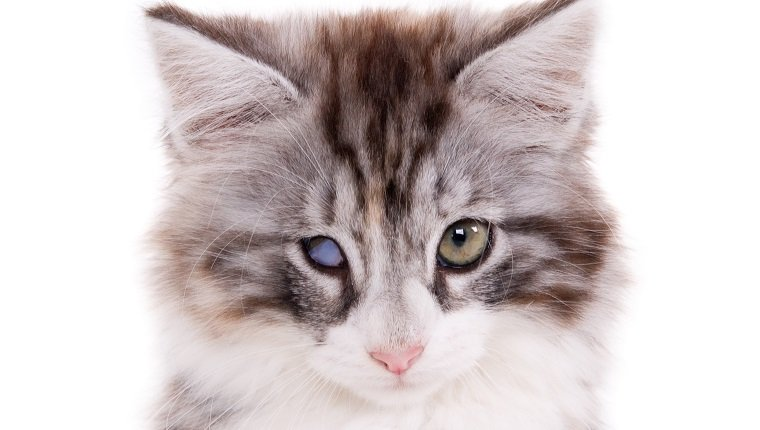 Portrait of a kitten with one blind eye. White background. Square composition. (1x1)