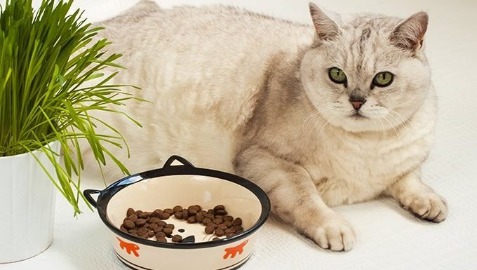 overweight cat with food