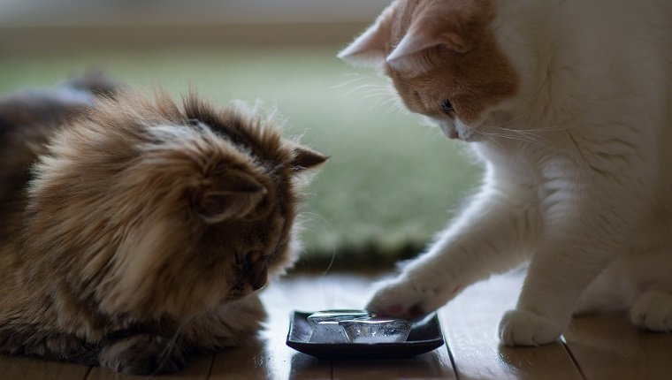 Brown persian cat and white and beige cat examining blocks of ice on plate on floor