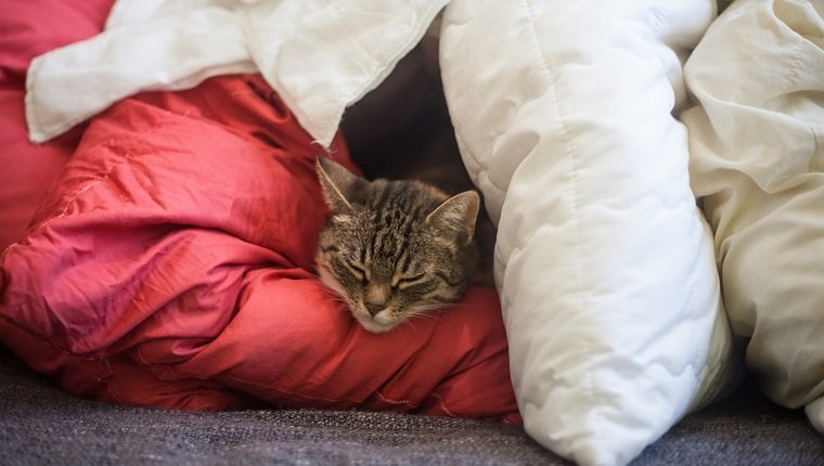 A sleeping cat using blankets as a fort