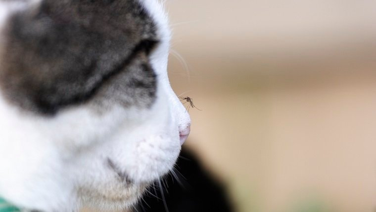 Mosquito on a cat's nose