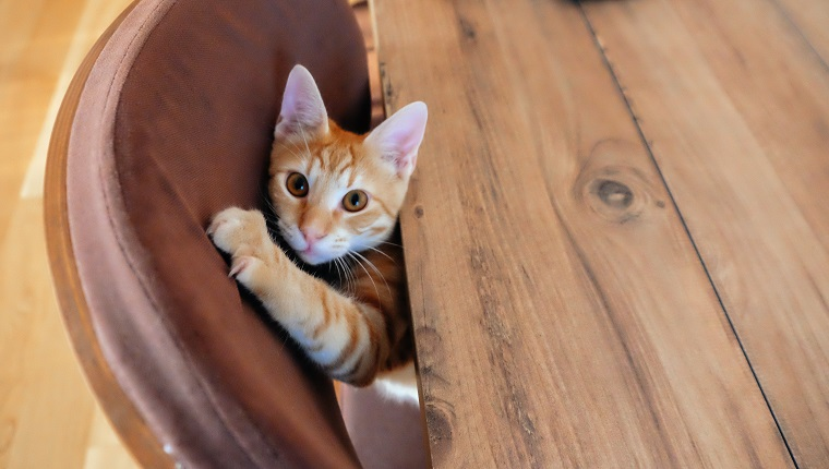 Ginger kitten peeking out from under the table and scratching furniture