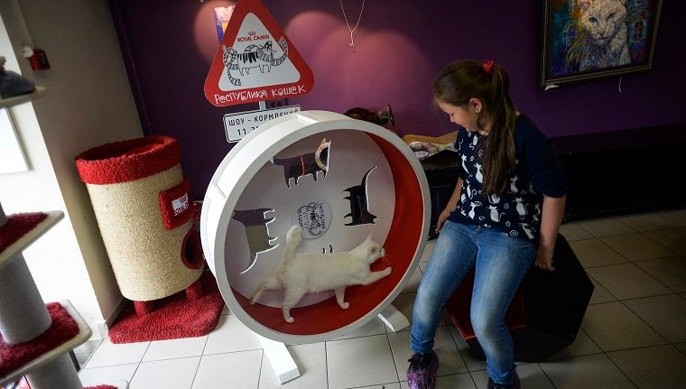 """Achilles the cat, one of the State Hermitage Museum mice hunters, runs in an exercise wheel at the """"Cat Republic"""" cafe in Saint Petersburg on June 7, 2018. - A deaf, white cat named Achilles is soon to begin his work as Russia's official soothsayer for the World Cup, following in the tentacle-prints of Paul the Octopus who became a star in 2010."""