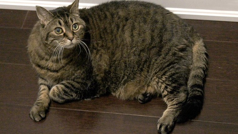 An overweight brown tabby cat laying on a wooden floor