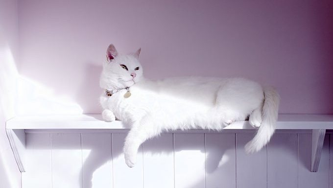 white cat lying down. is this cat different from albino cats?