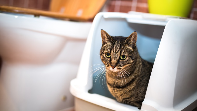Striped cat sitting in her toilet.