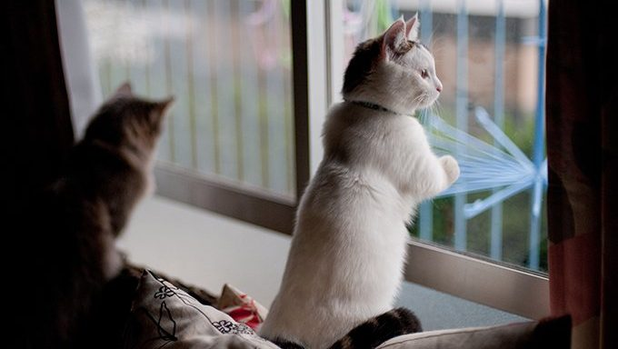 munchkin cat looking out window