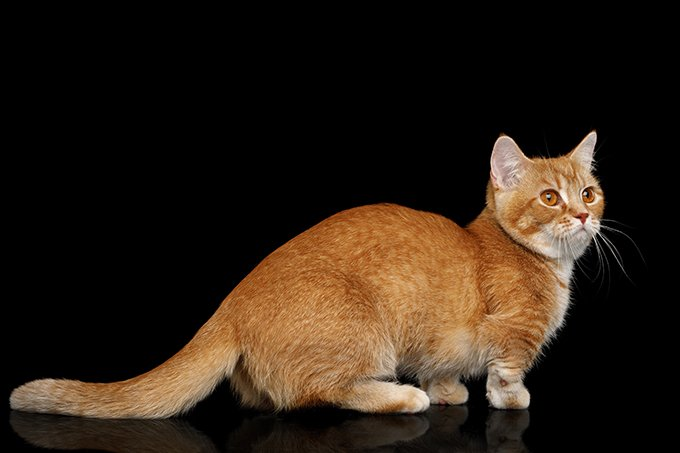 Dwarf Cats: Everything You Need To Know About Feline ...