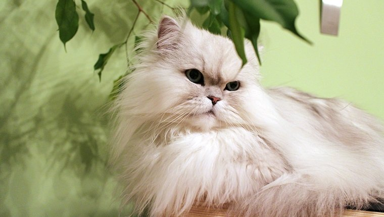Close-Up Of Persian Cat Lying At Home