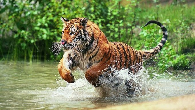 tiger running in water