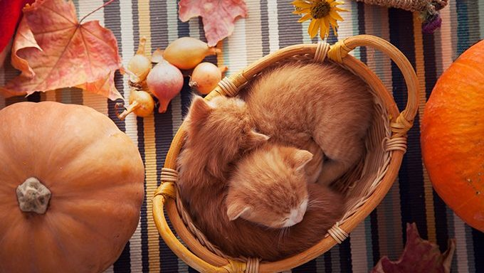 cats in a basket on table near pumpkins and fall leaves