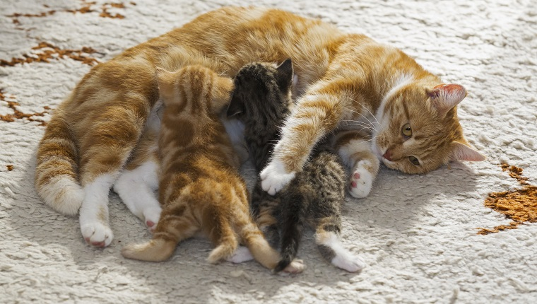 Domestic cats, cat nursing two kittens, Germany