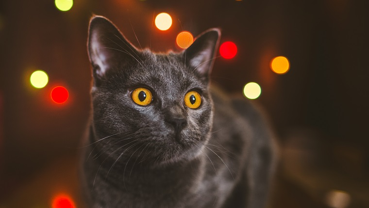 One year old Chartreux cat in front of Christmas lights