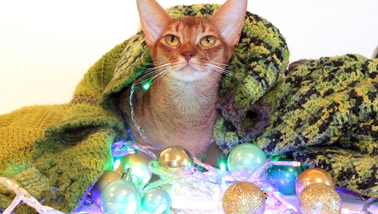 the cat sits under a rug. the cat is looking at the camera. a red cat under a cozy and warm blanket. new year close. Abyssinian red cat under a warm cozy blanket. the cat is sniffing New Year's balls. Christmas card with a cat. cat for Christmas advertising. red cat for a card for the new year. new year and red cat