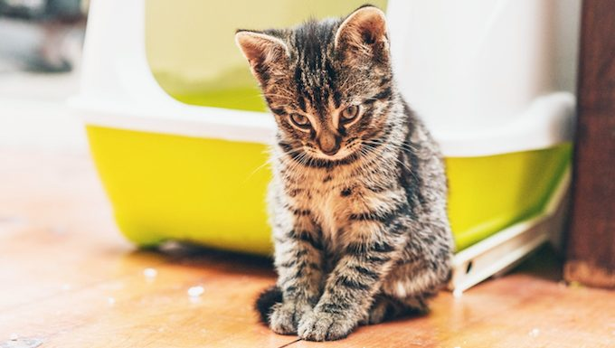 kitten standing by litter box