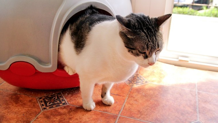 Cat using toilet, cat in litter box, for pooping or urinate, pooping in clean sand toilet. Cleaning cat litter box. Cat looking at her own poop in the litter box. Kitty litter. Cat at home. Pet Shop.