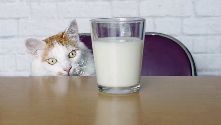 Cute longhair cat look curious to a cup of milk.