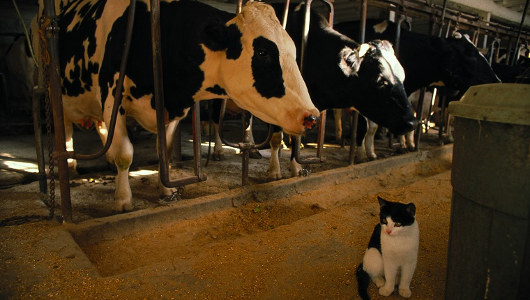 cat sits next to cows