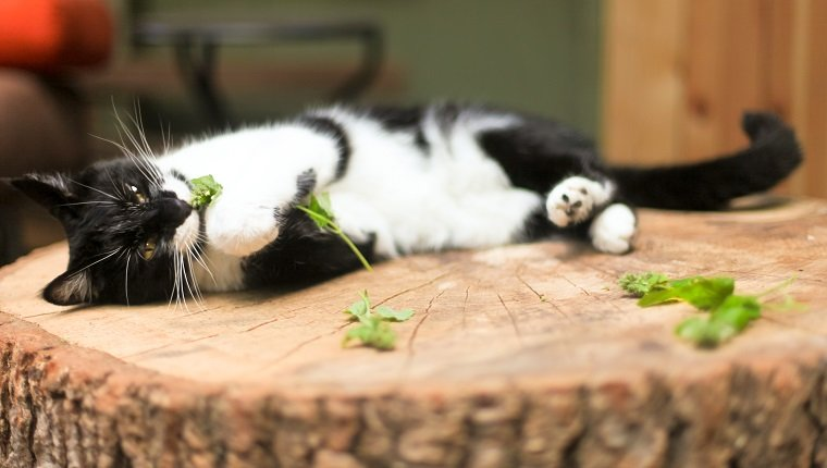 Black and white cat laying down on a tree stump with fresh catnip. Taken in natural light.