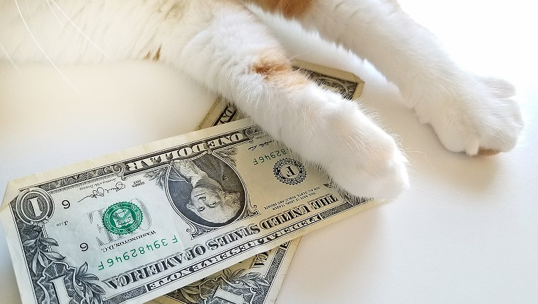 close up of tabby cat with American dollars