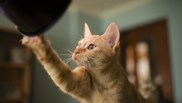 Spain, Orange tabby cat looking and touching curiously a flash light at home