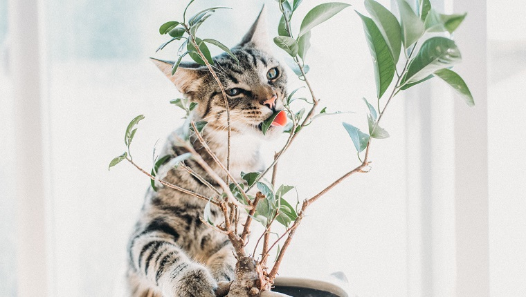 Portrait Of Cat Eating Plant At Home
