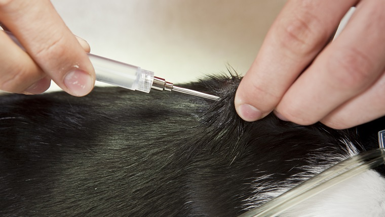 A veterinarian is injecting a microchip between the shoulder blades of a young cat.