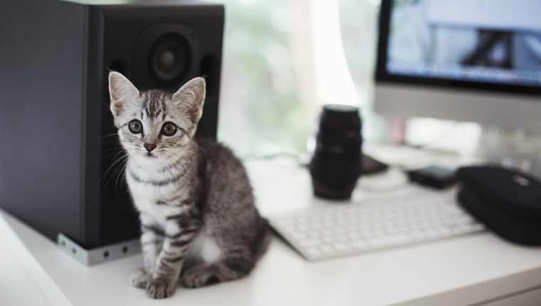 Close up of grey tabby cat sitting on desk next to computer and loudspeaker.
