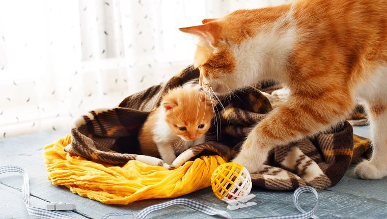 Ginger cat and kitten. Mother cat comes to take kitten to the safe place on Mother's Day.