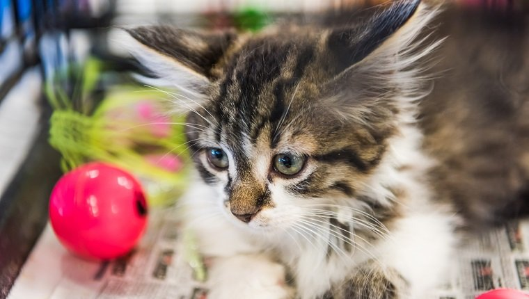 Portrait of one tabby and white kitten playing with pink ball on newspaper waiting for adoption