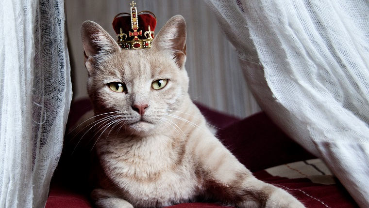 Portrait of white cat with crown on head sitting on bed, Namibia.
