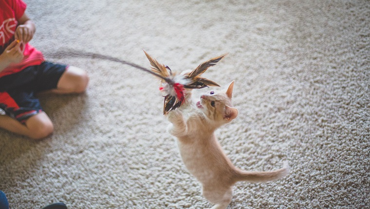 Little boy holds out a stick with feathers on it for a little kitten to play with.
