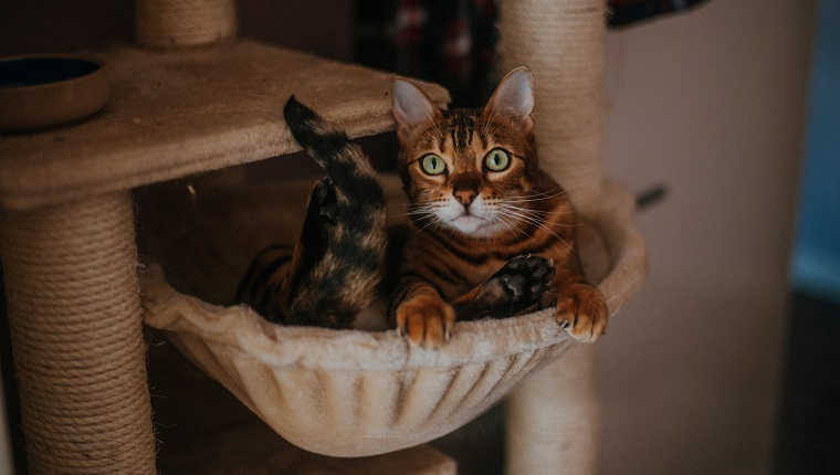 Brown striped/spotted Bengal cat with striking green eyes sitting inside a basket in her cat tree climbing frame.