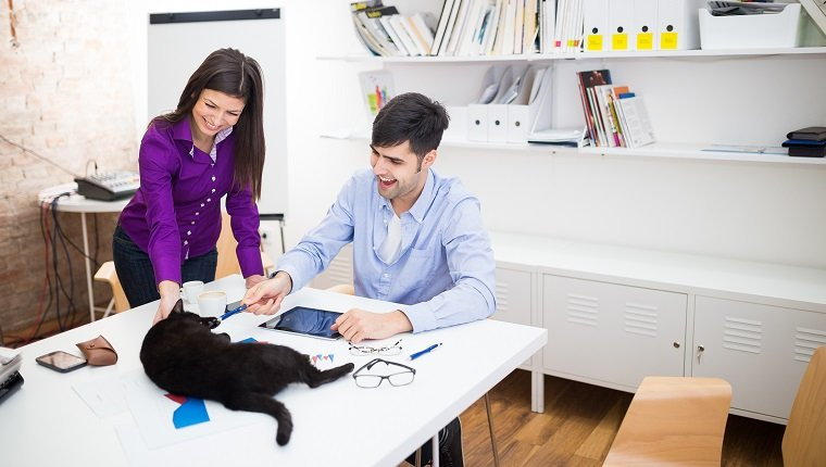 Playfull cat in the office with two business people,playing